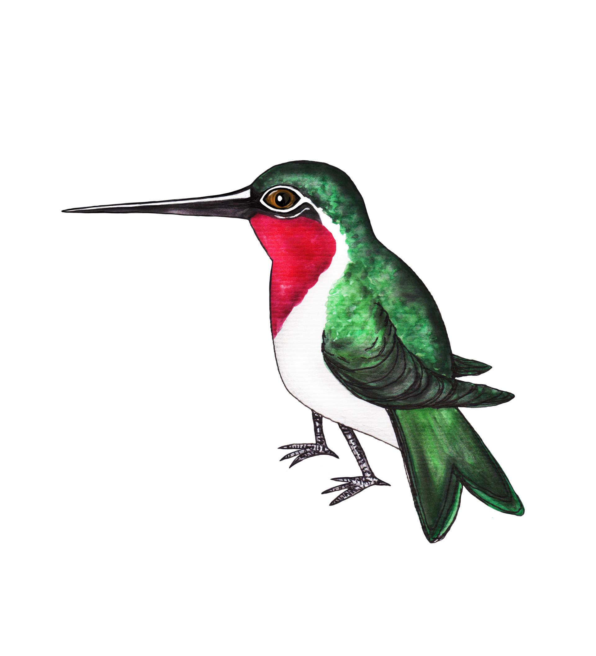 Kolibrie A4